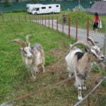 Козлы в Gryta Camping