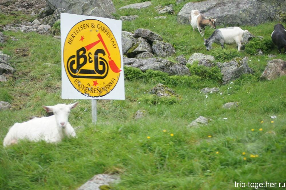 Норвежские овцы