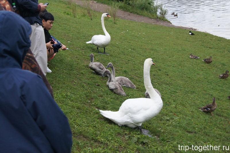 Лебеди на озере Альпензее