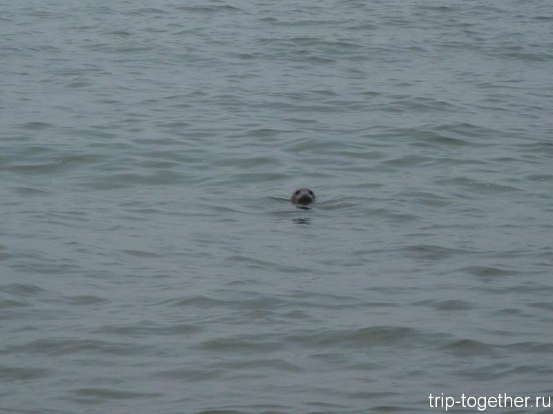 Тюлень в море