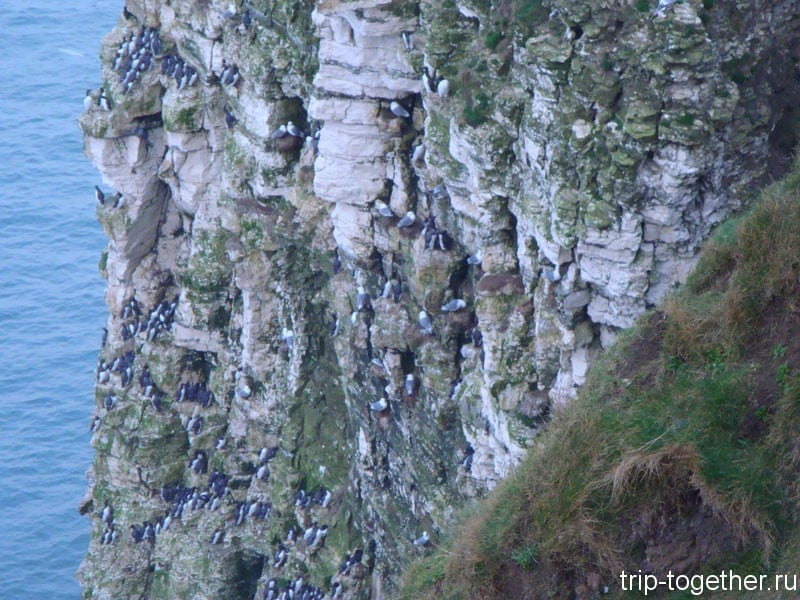 Тучи птиц на меловых утесах Йоркшира