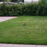 Заяц на лужайке в De Lombarde кемпинге