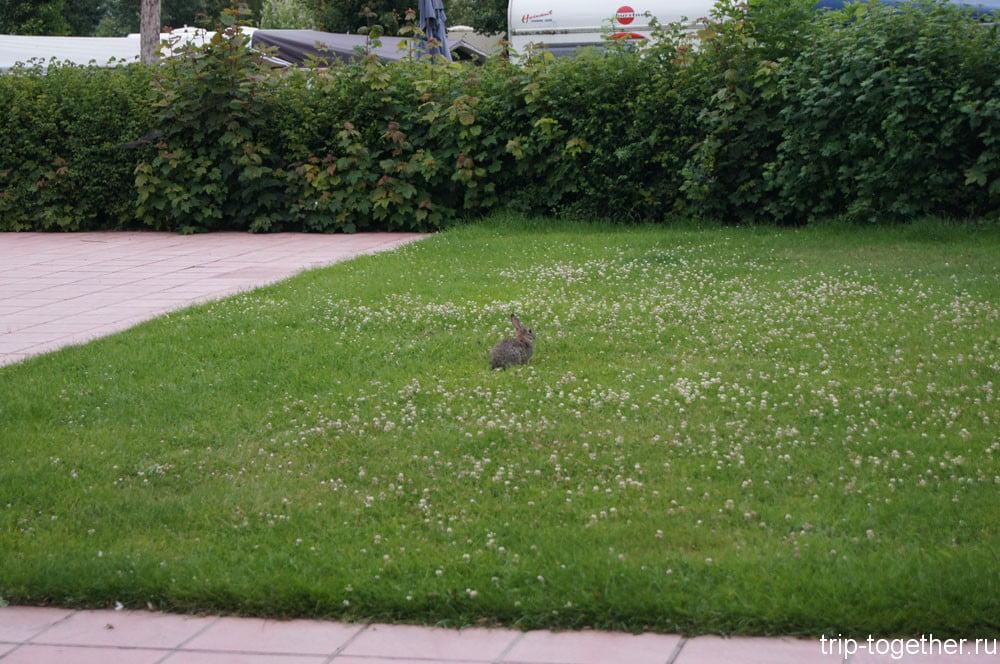 Дикие зайцы прыгают по территории кемпинга