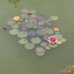 Цветущие кувшинки в пруду на АЗС Бельгии