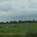Стада голландских коров