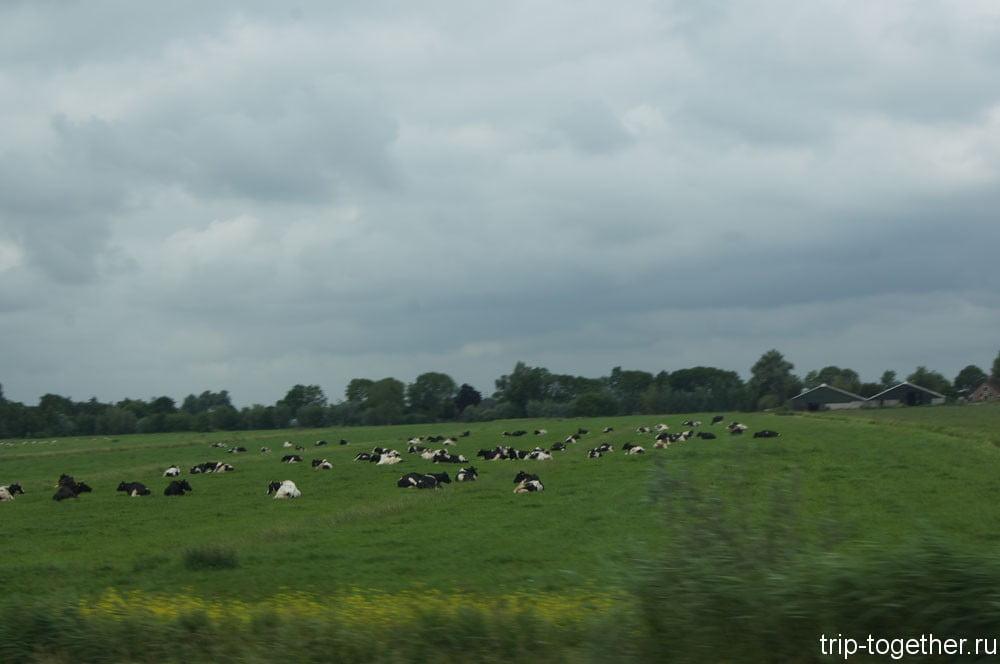 Голландские коровы