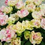 Голландские тюльпаны на музеумплейн