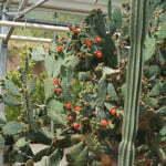 Оранжерея с кактусами