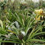 Ананас в субтропической оранжерее