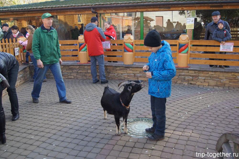 Кормление козы в детском зоопарке