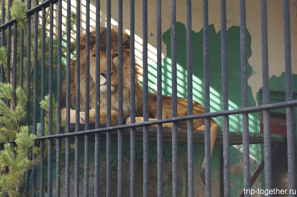Царь зверей в Ленинградском зоопарке