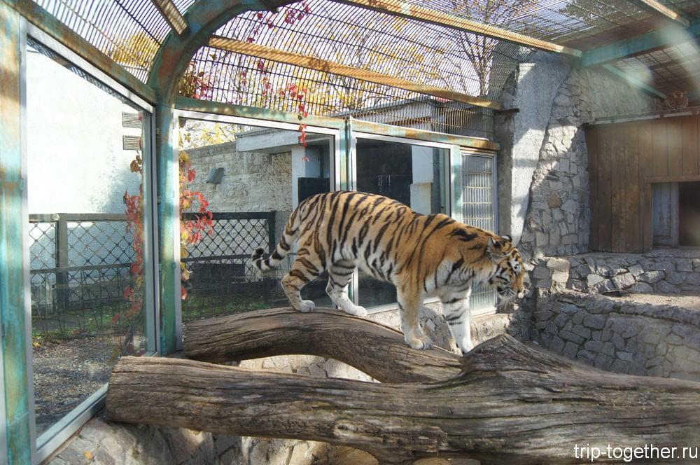 Обновленный вольер тигра в Ленинградском зоопарке