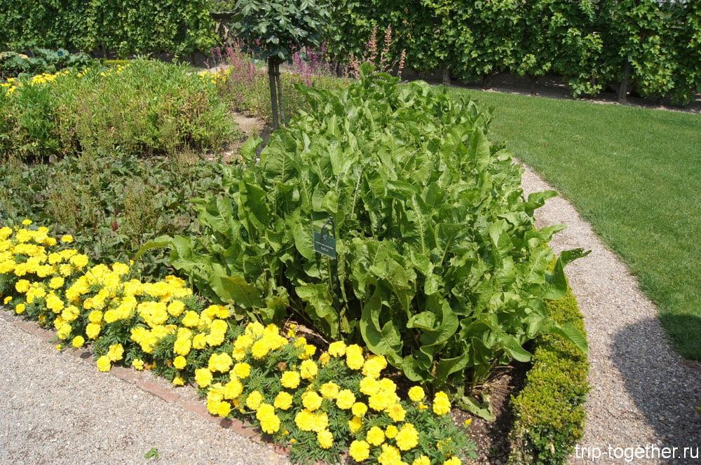 Аптекарский сад, хрен обыкновенный