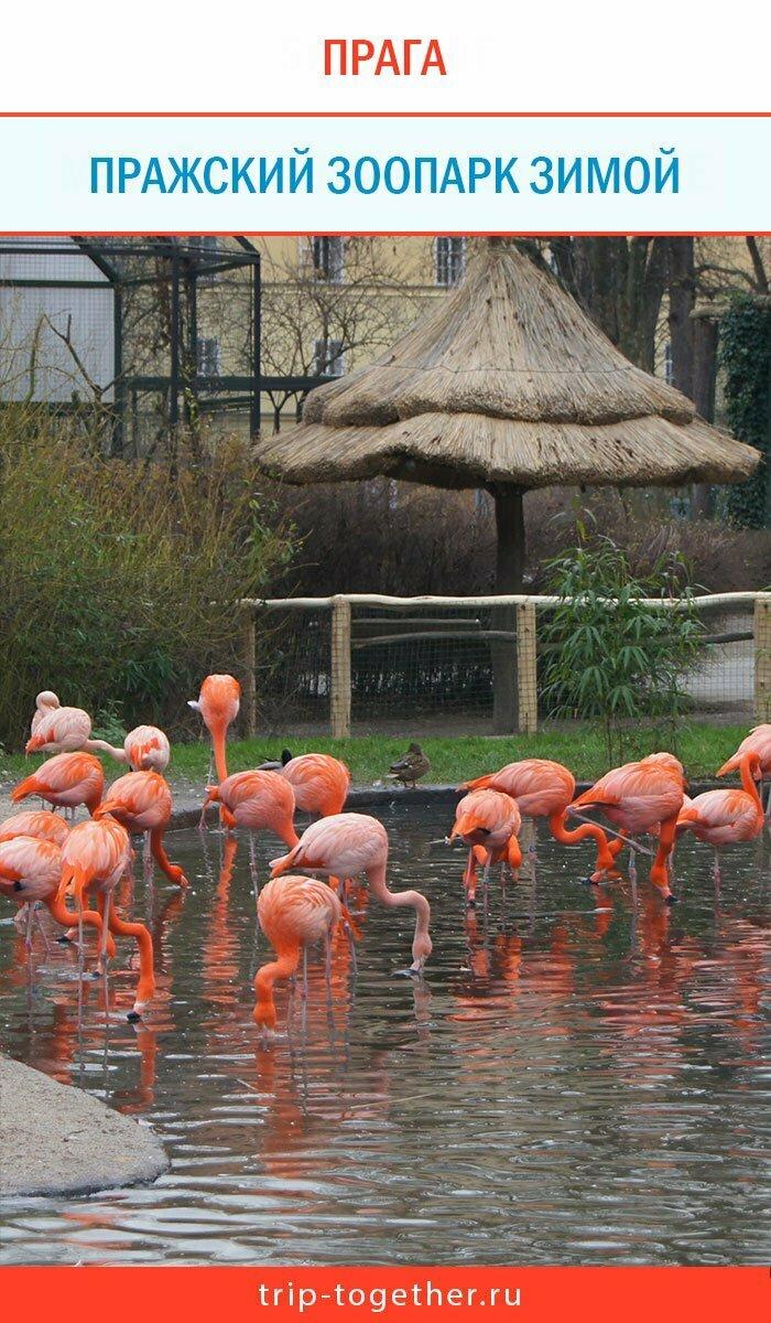 Фламинго в Пражском зоопарке зимой