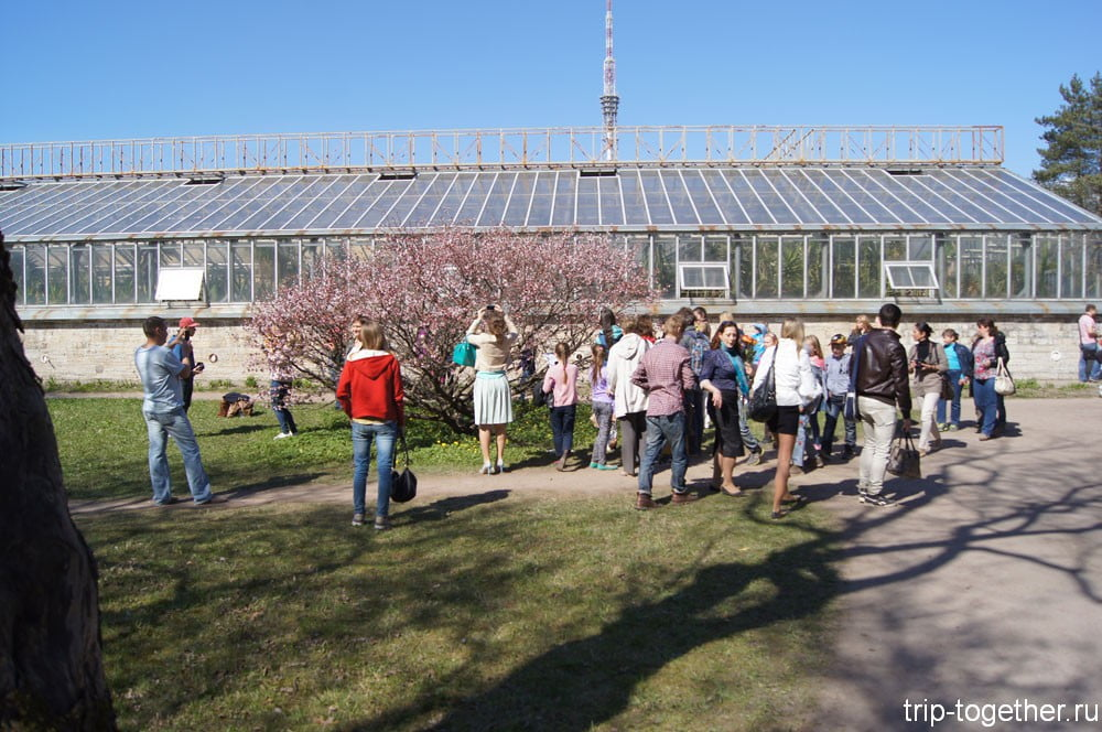 Цветение сакуры в ботаническом саду Санкт-Петербурга