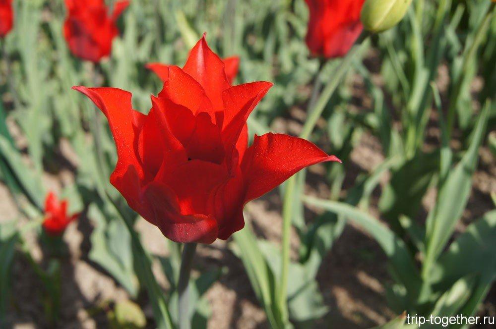 Тюльпаны на Елагином острове