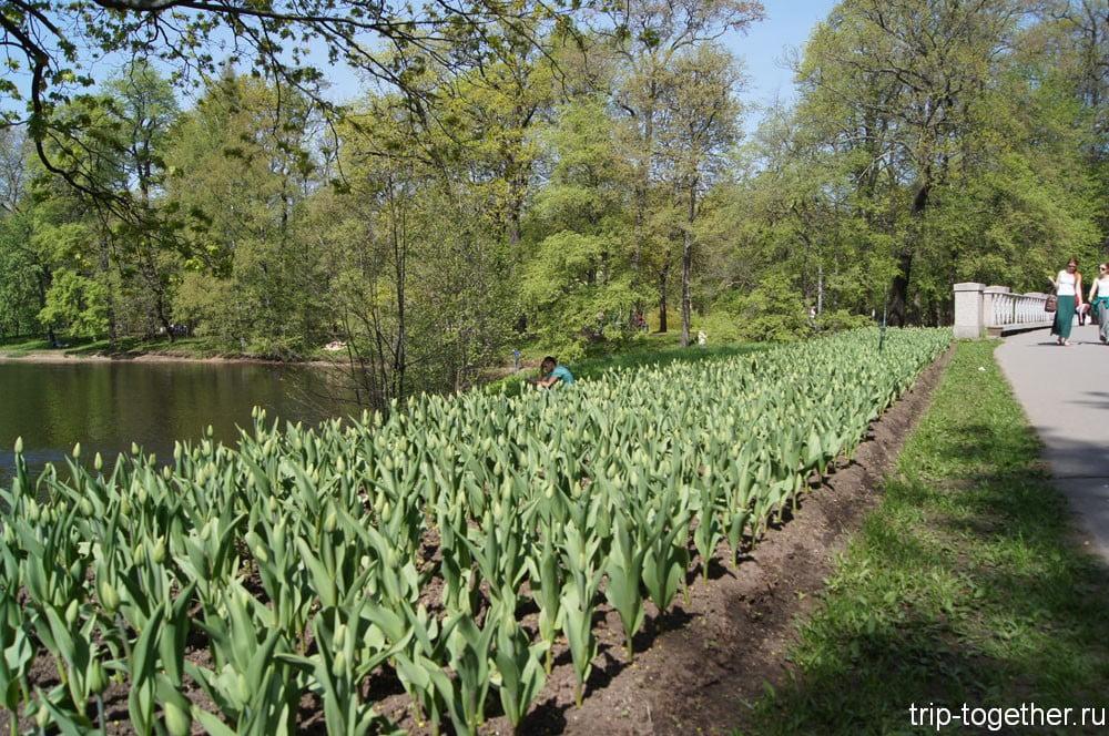 Многие тюльпаны еще не распустились
