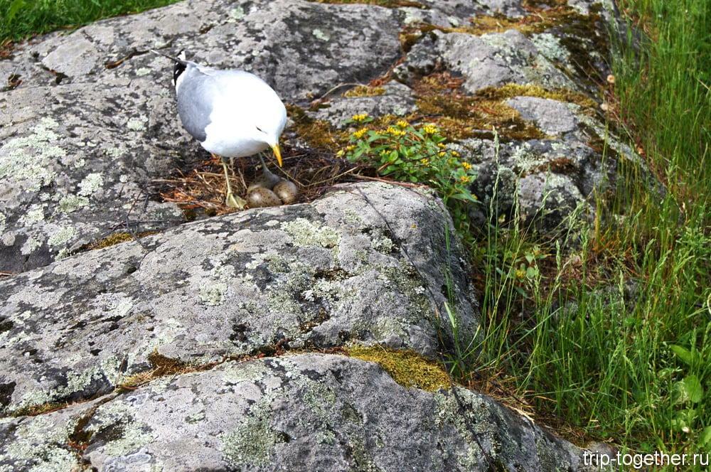 Чайка на гнезде