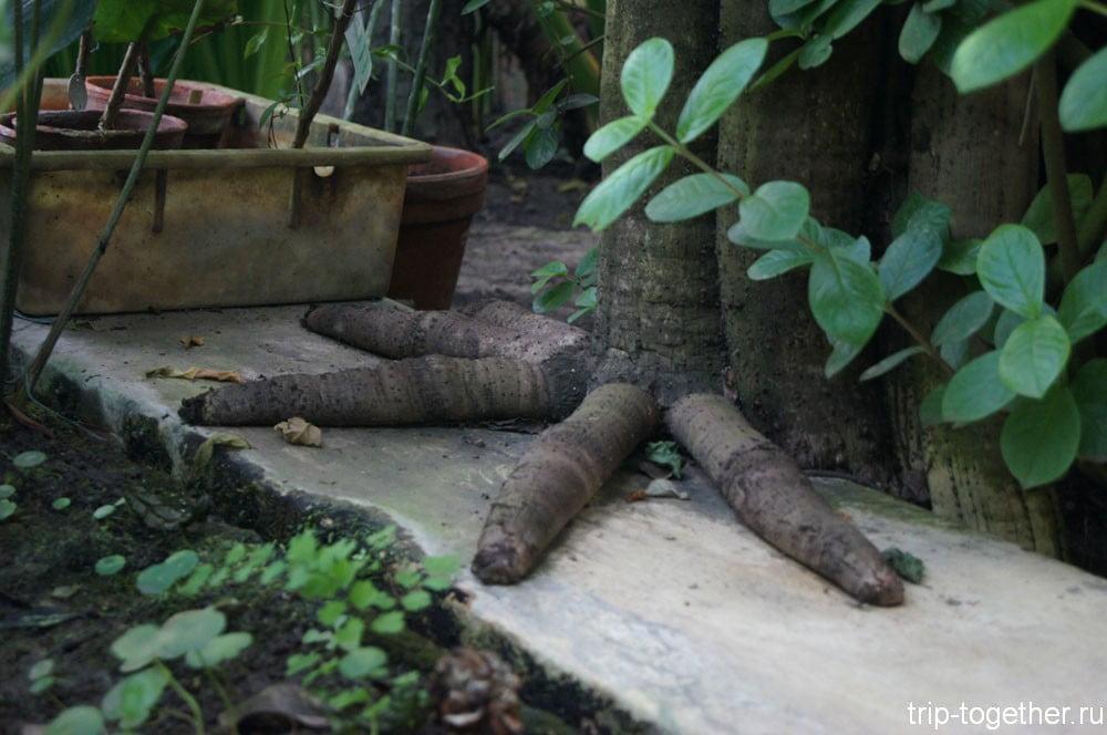 Пять пальцев гигантского тропического растения