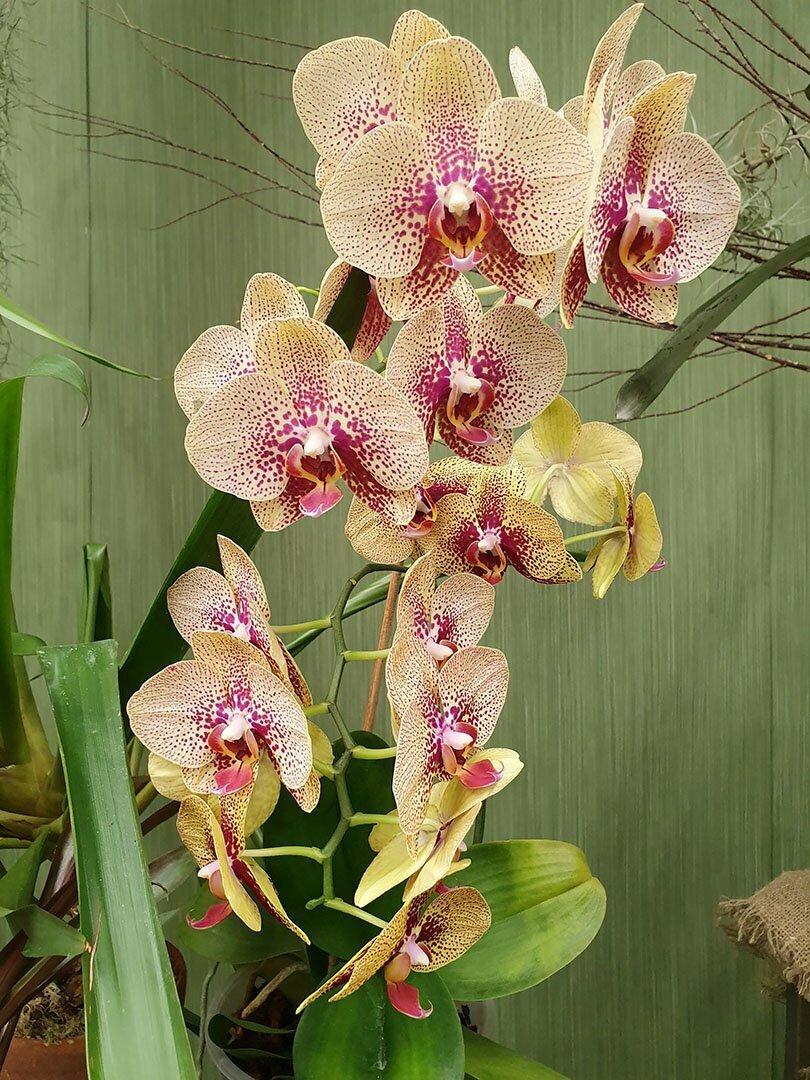 Фаленоспис, Phalaenopsis Blume