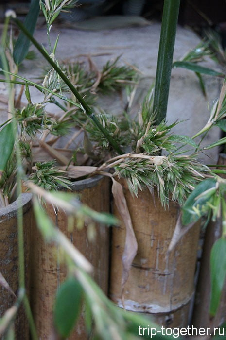 Цветущий бамбук