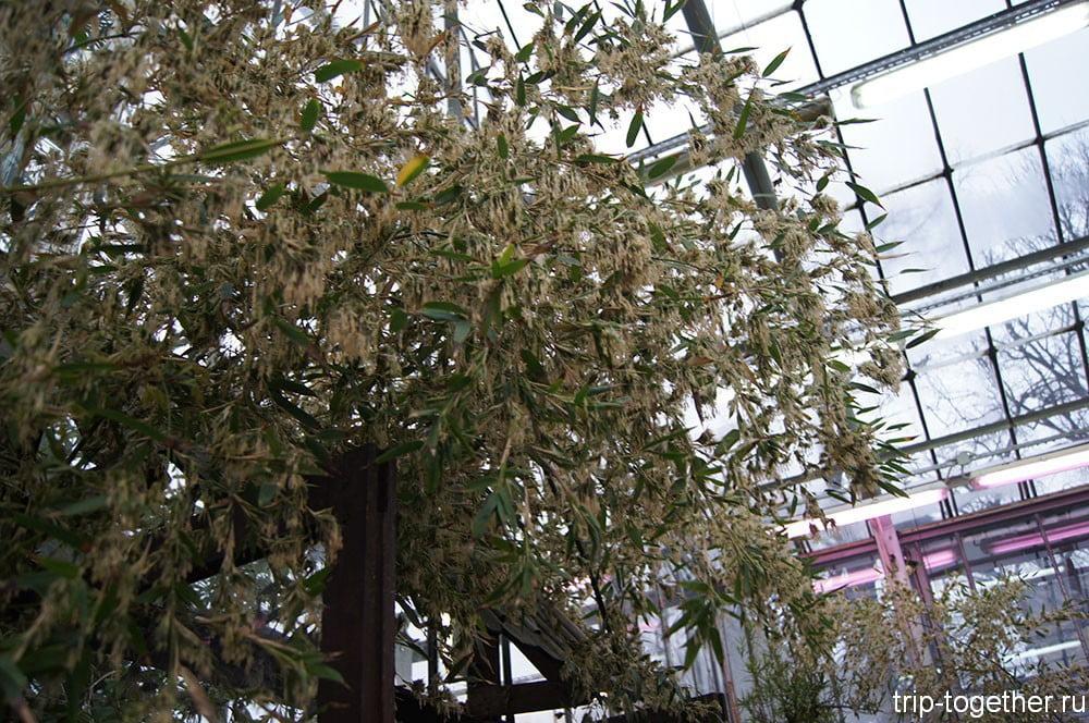 Цветущий бамбук в ботаническом саду Петербурга