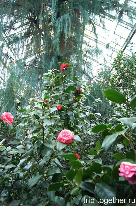 Камелии  в ботаническом саду Санкт-Петербурга