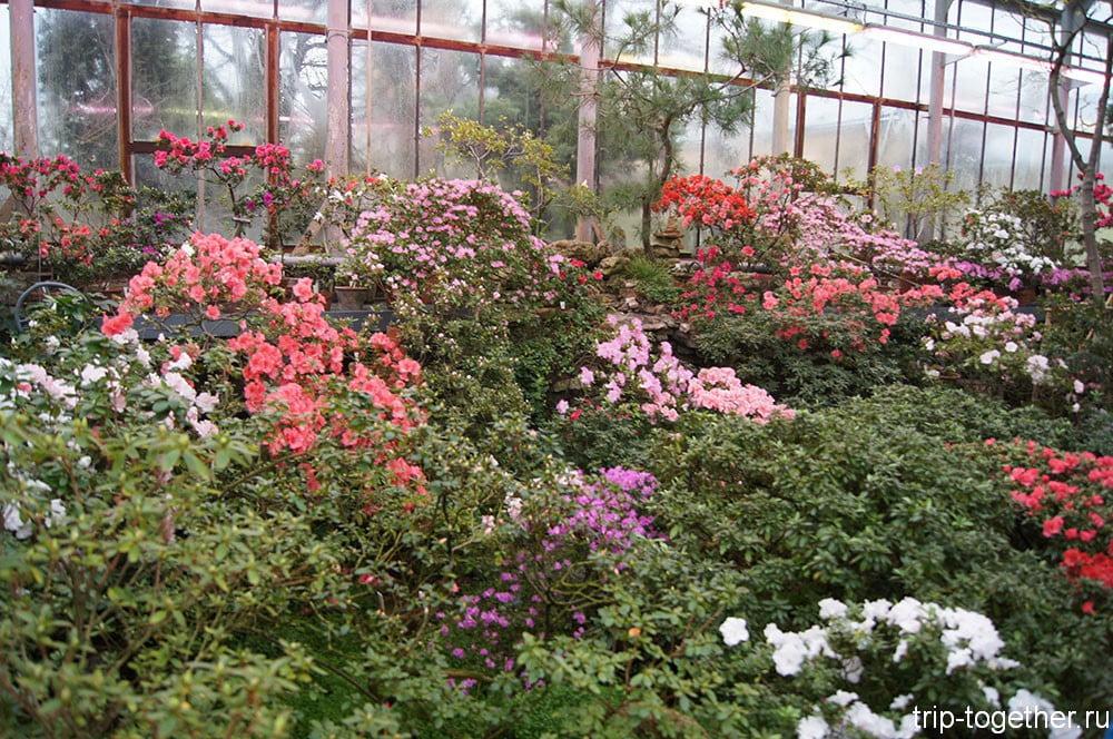 Цветение азалий в ботаническом саду Санкт-Петербурга
