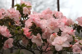 Азалии в ботаническом саду Петербурга