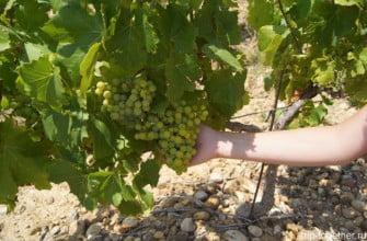 Виноград в Испании. Пенедес