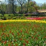 Кёкенхоф- тюльпаны