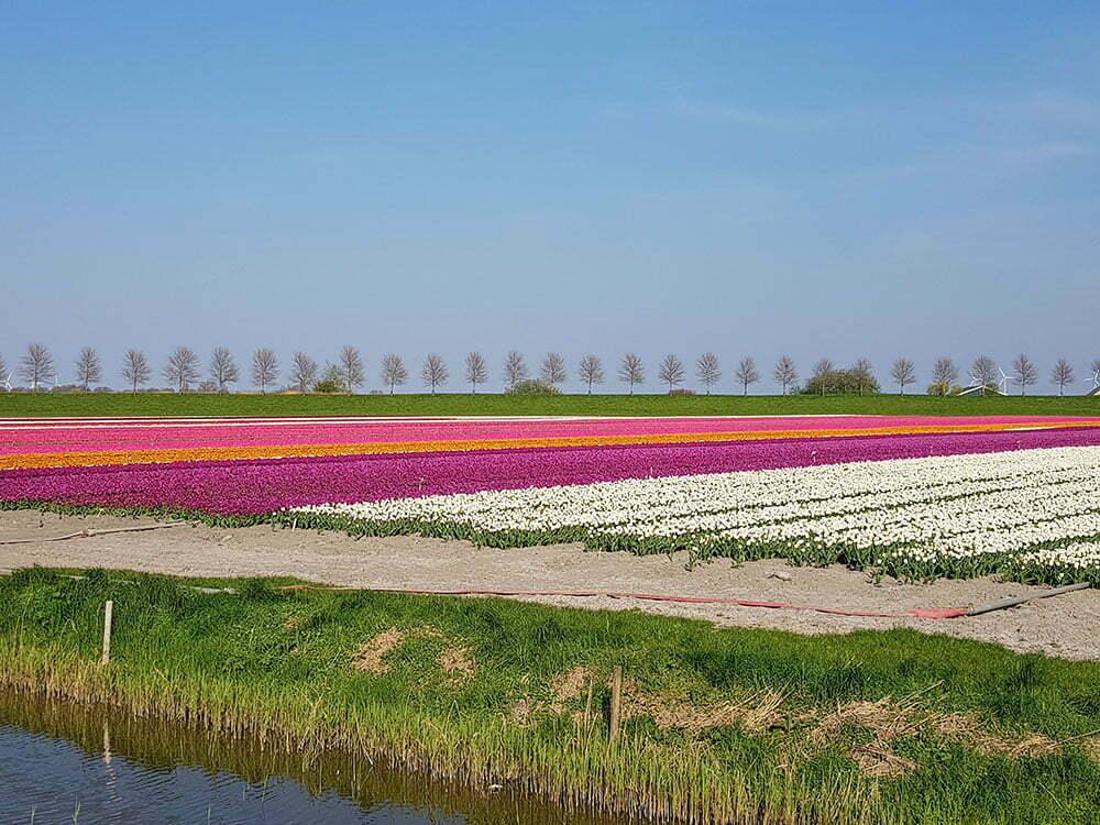 Тюльпановые поля Голландии