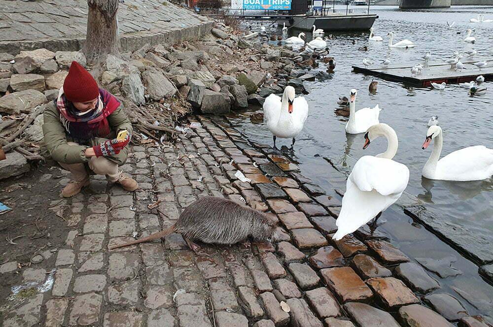 Лебеди и водяная крыса на Влтаве