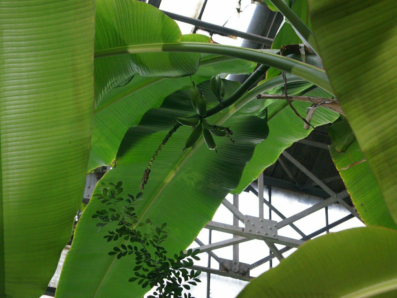 Банановое дерево ветеран Второй Мировой войны