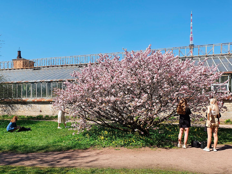 Цветение курильской сакуры