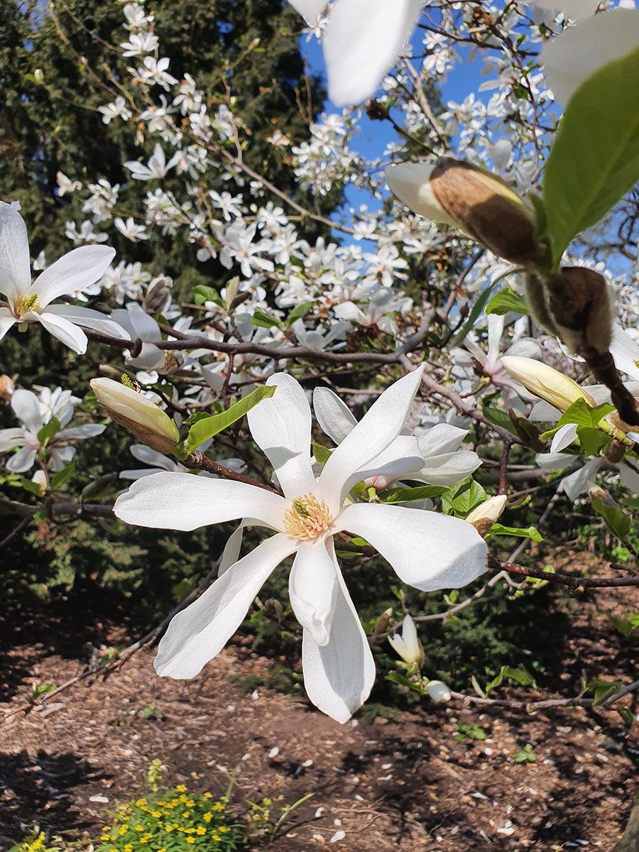 Магнолия кобус - цветки