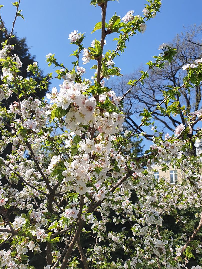 Сакура Тоямазакура с мелкими белыми цветками