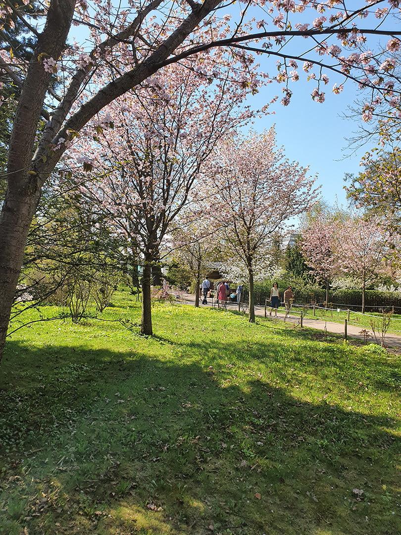 Вишни позади японского садика