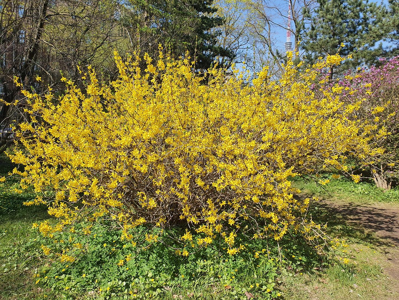 Желтый куст